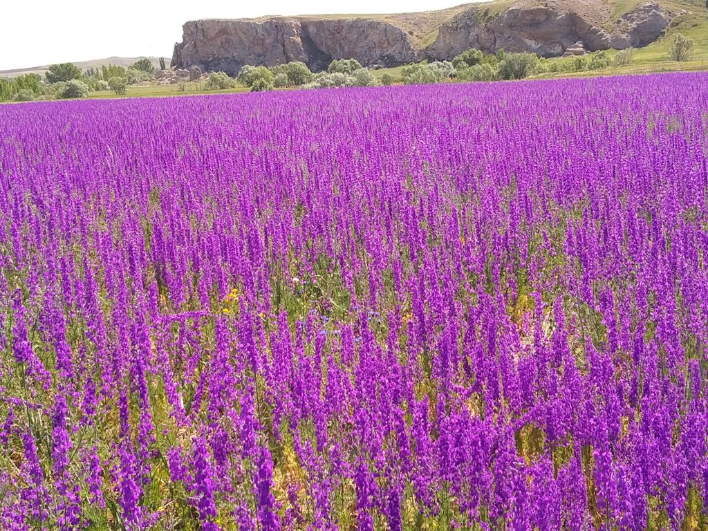 цветущее поле в Турции